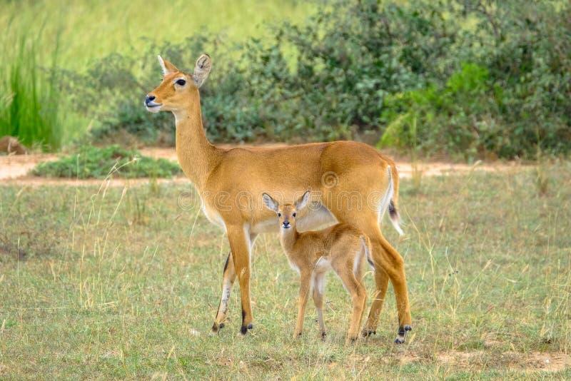Primo piano di un cervo del bambino e della sua condizione della madre in un campo erboso con sfondo naturale vago fotografia stock