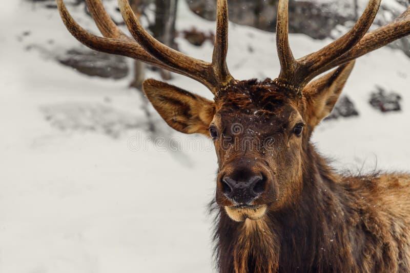 Primo piano di un cervo nell'inverno (parco di Omega della Quebec) immagini stock