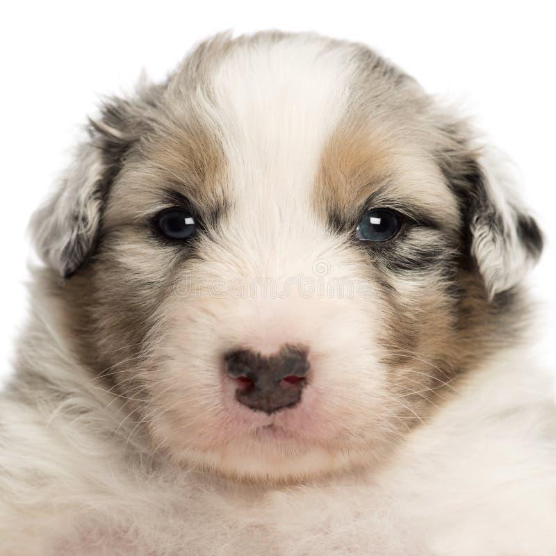 Primo piano di un cucciolo australiano del pastore, vecchio 22 giorni immagine stock libera da diritti