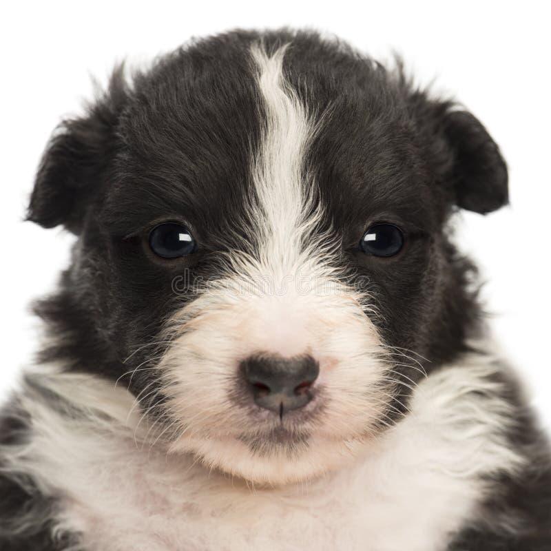 Primo piano di un cucciolo australiano del pastore, vecchio 22 giorni fotografia stock libera da diritti
