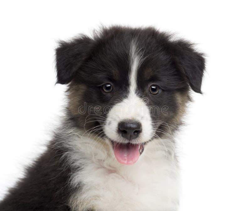 Primo piano di un cucciolo australiano del pastore, vecchio 8 settimane immagine stock libera da diritti