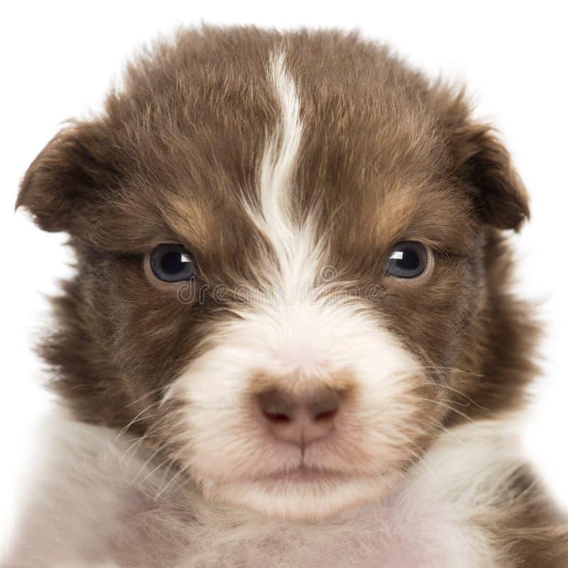 Primo piano di un cucciolo australiano turbato del pastore, vecchio 22 giorni fotografia stock libera da diritti