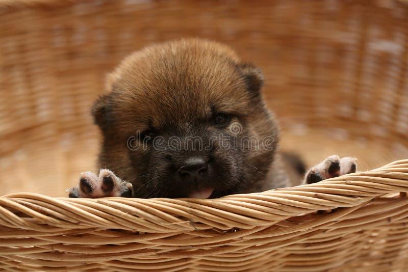 Primo piano di un cucciolo neonato di Shiba Inu Cane di Shiba Inu del giapponese Bello marrone di colore del cucciolo di inu di s fotografie stock libere da diritti