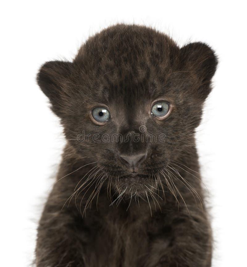 Primo piano di un cucciolo nero del leopardo, vecchio 3 settimane fotografia stock