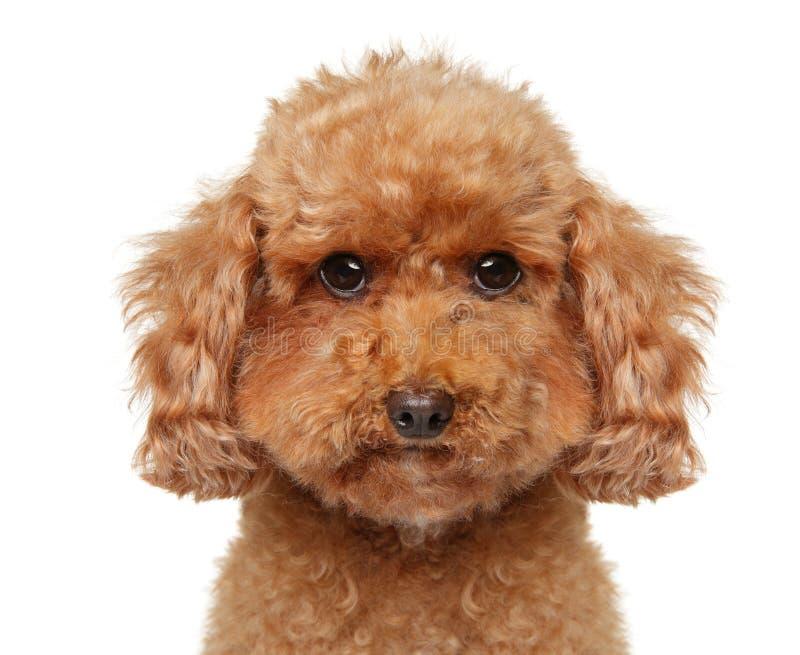 Primo piano di un cucciolo di Toy Poodle su fondo bianco immagine stock