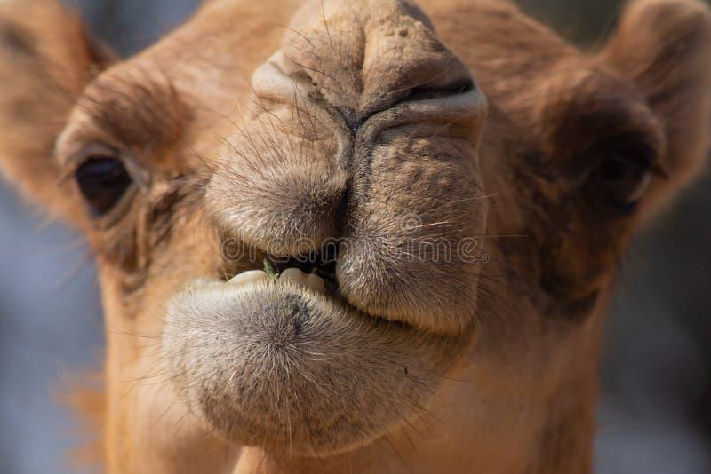 Primo piano di un'espressione facciale del cammello del dromedario del deserto immagine stock