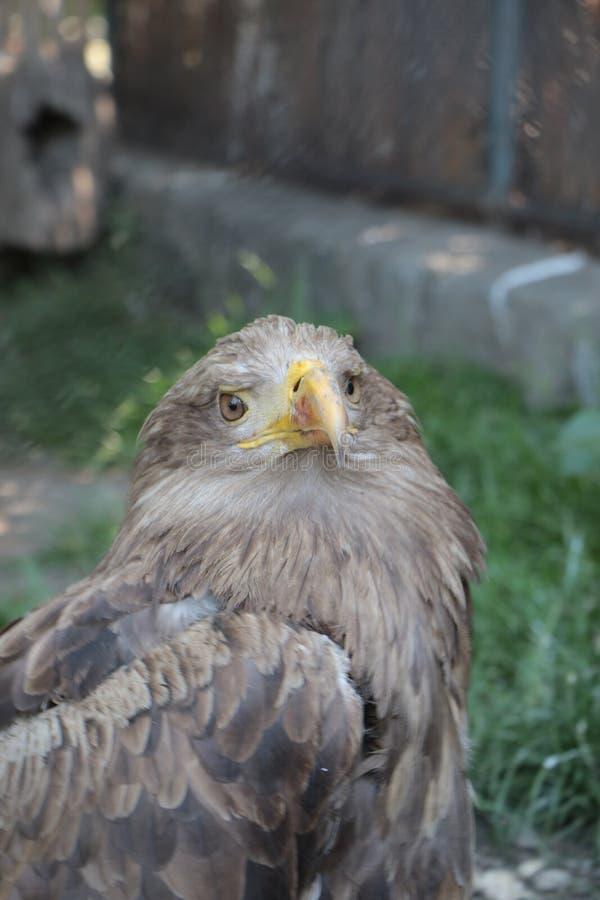 Primo piano di un falco fotografia stock