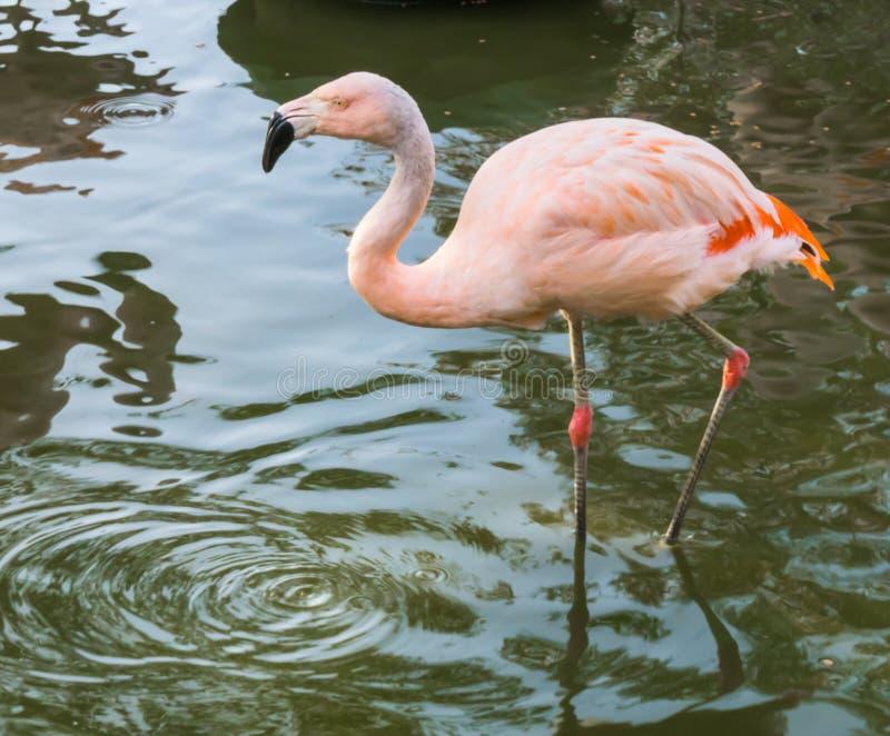 Primo piano di un fenicottero cileno rosa che cammina attraverso l'acqua, un uccello tropicale minacciato vicino dall'America fotografie stock libere da diritti