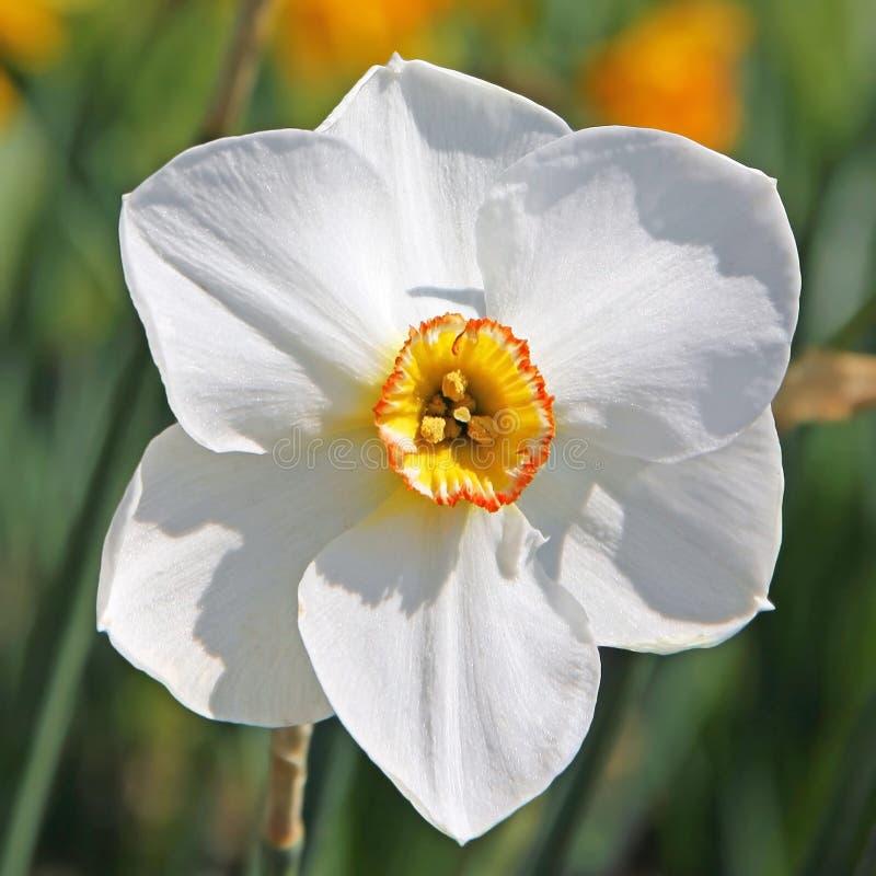 Primo piano di un fiore bianco del narciso immagine stock for Disegni del mazzo del secondo piano