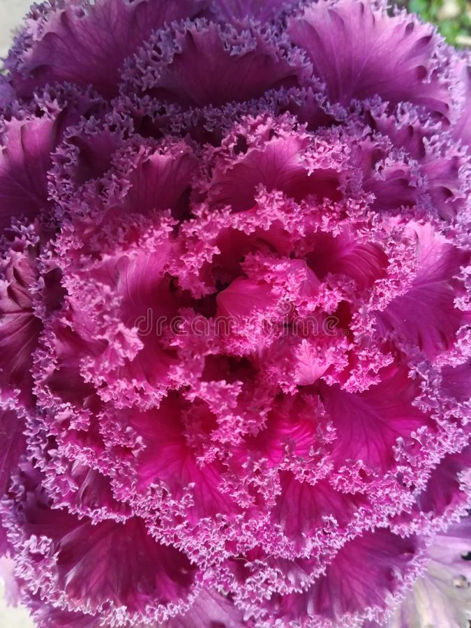 Primo piano di un fiore del cavolo rosso, modello riccio fotografie stock libere da diritti