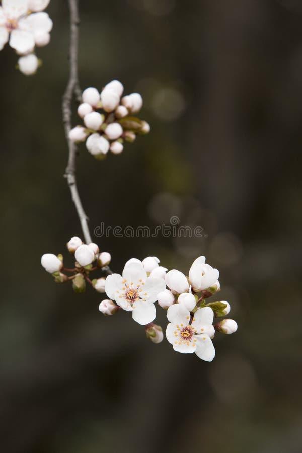 Primo piano di un fiore di ciliegia immagine stock libera da diritti