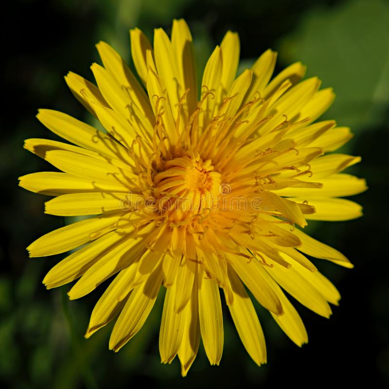 Primo piano di un fiore giallo del dente di leone fotografia stock