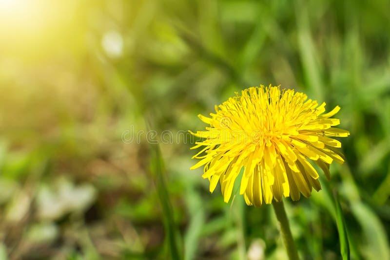Primo piano di un fiore giallo del dente di leone su un fondo vago di erba verde un giorno di molla soleggiato Fiori di fioritura immagini stock libere da diritti