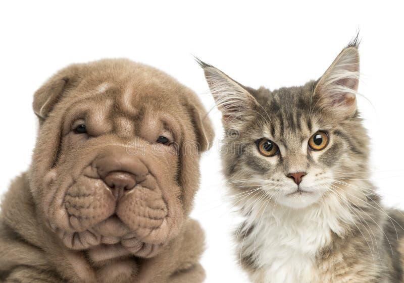 Primo piano di un gattino del procione lavatore di Maine e di un cucciolo di Shar Pei immagine stock