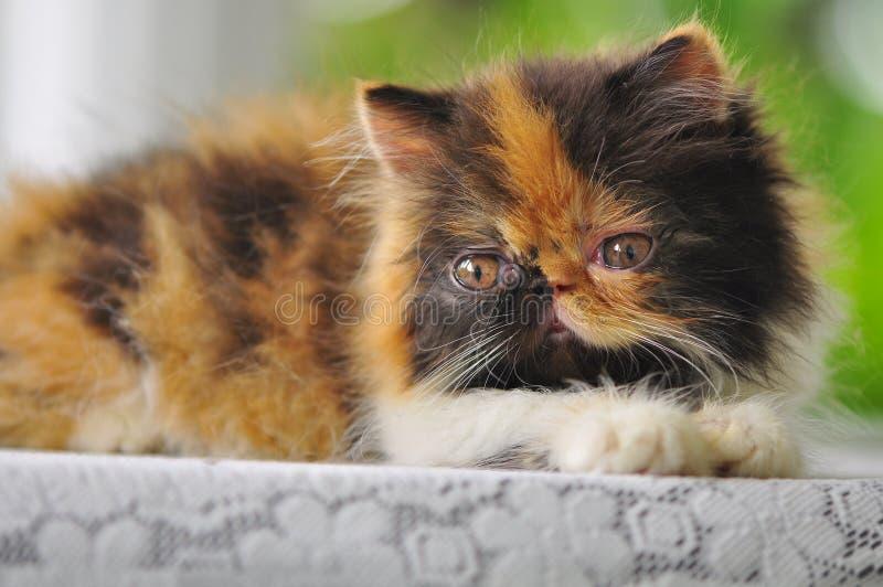 Primo piano di un gattino persiano fotografia stock libera da diritti