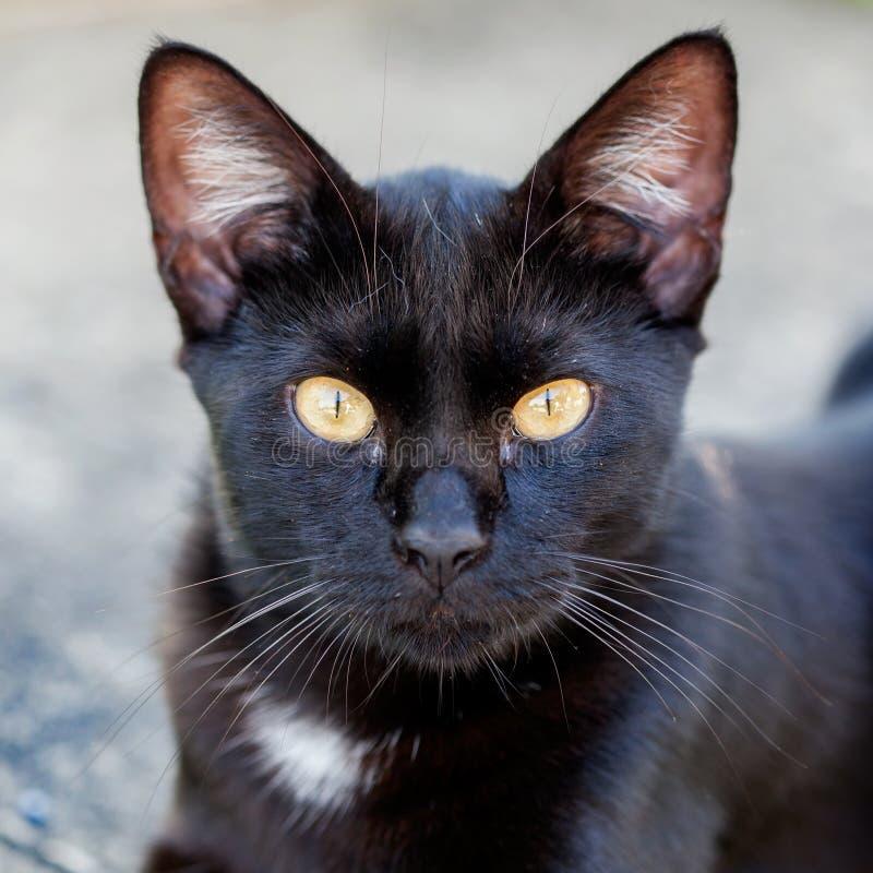 Primo piano di un gatto nero di Halloween fotografie stock