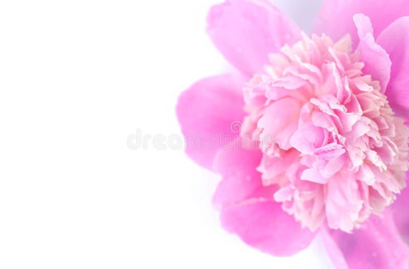 Primo piano di un germoglio rosa della peonia su un fondo bianco fotografia stock libera da diritti