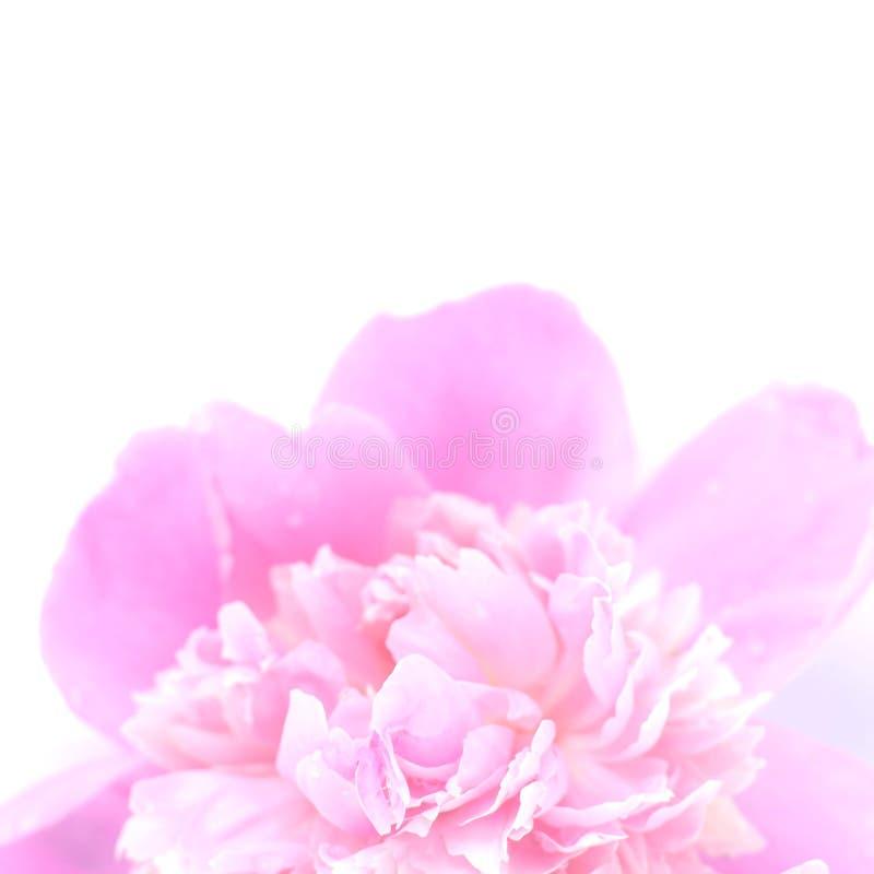 Primo piano di un germoglio rosa della peonia su un fondo bianco fotografia stock