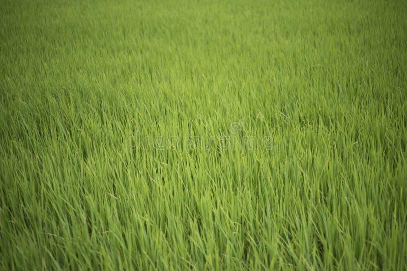 Primo piano di un giacimento del riso immagini stock
