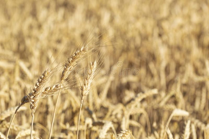 Primo piano di un giacimento e di Sunny Day di grano dorati Fondo delle orecchie di maturazione del giacimento di cereali fotografie stock libere da diritti