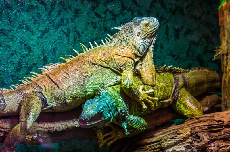 Primo piano di un'iguana verde sopra l'altra, comportamento dominante della lucertola, animali domestici tropicali popolari, spec immagine stock libera da diritti