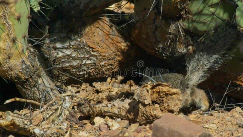 Primo piano di un inaurus in deserto del Kalahari, Sudafrica di Xerus dello scoiattolo a terra fotografie stock libere da diritti