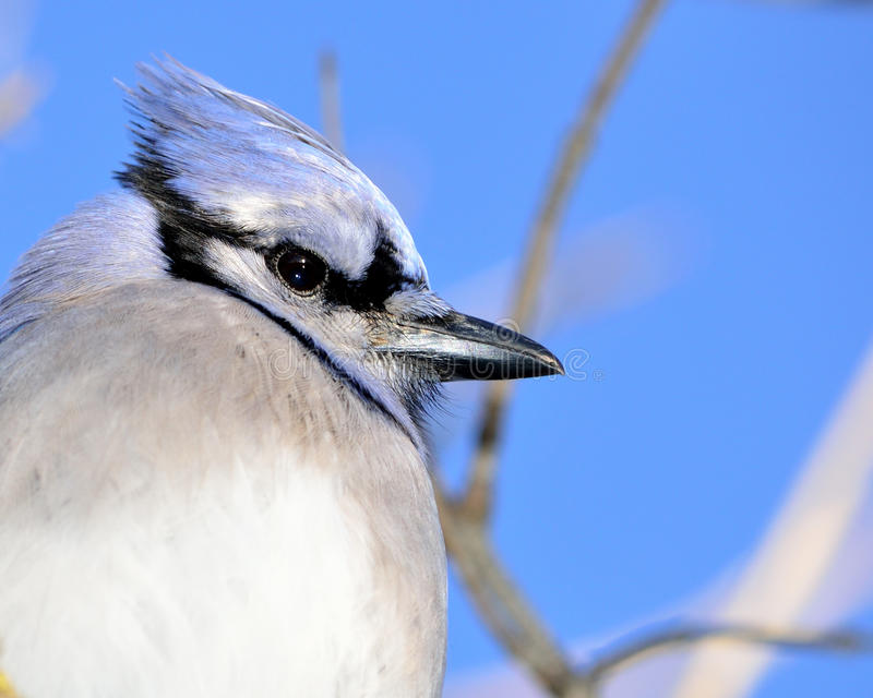 Primo piano di un Jay blu fotografia stock