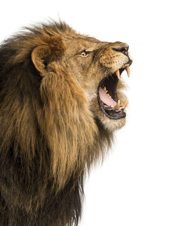 Primo piano di un leone che rugge, panthera Leo, 10 anni, isolati immagine stock