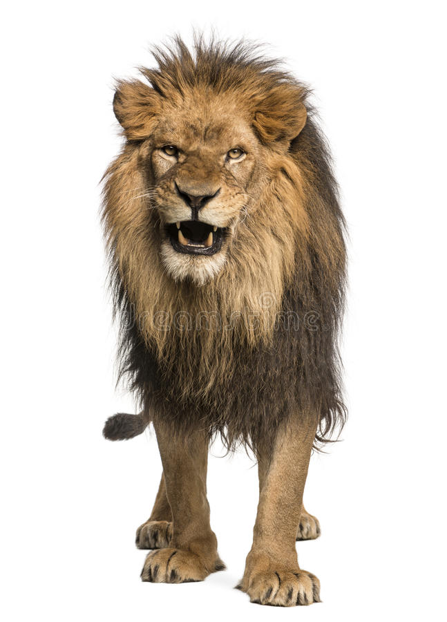 Primo piano di un leone che rugge, panthera Leo, 10 anni, isolati fotografie stock