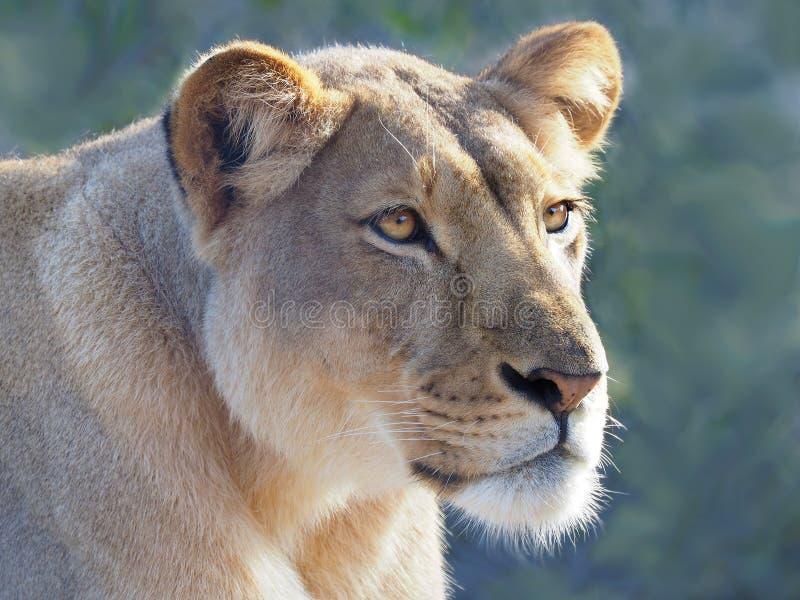 Primo piano di un leone femminile alla bella luce immagine stock libera da diritti
