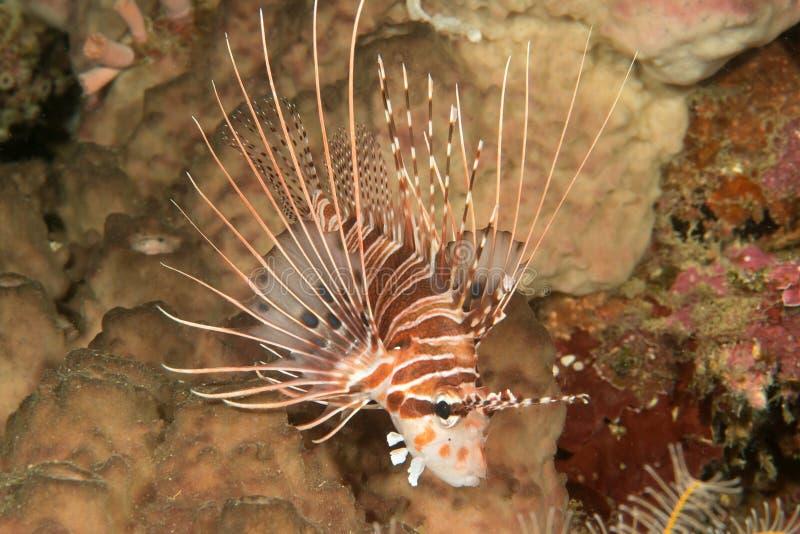 Primo piano di un lionfish dello spotfin, pterois antennata che riposa sui coralli di Bali, Indonesia immagine stock libera da diritti
