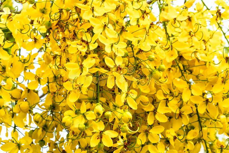 Primo piano di un mazzo di fiore dorato giallo della doccia contro fondo bianco luminoso fotografia stock libera da diritti