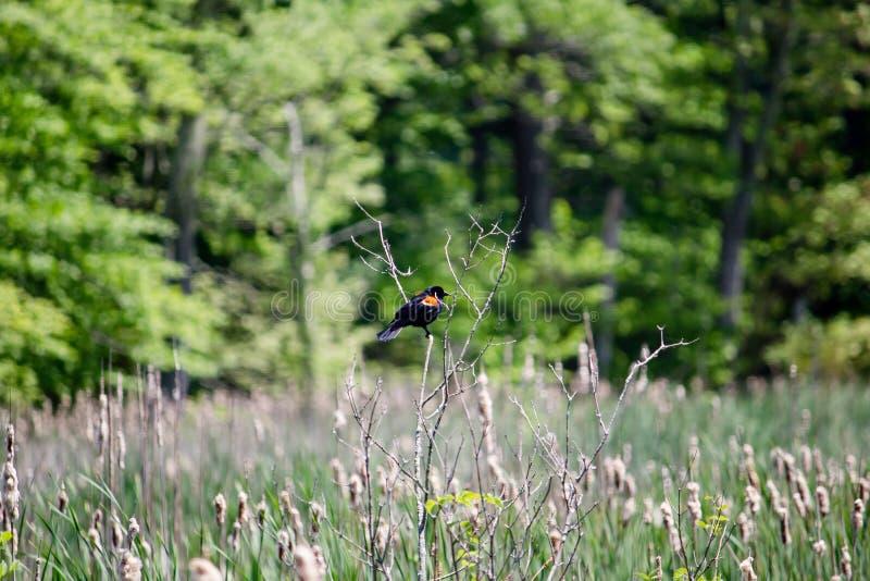 Primo piano di un merlo ad ali rosse che si siede su un ramoscello con sfondo naturale vago fotografia stock