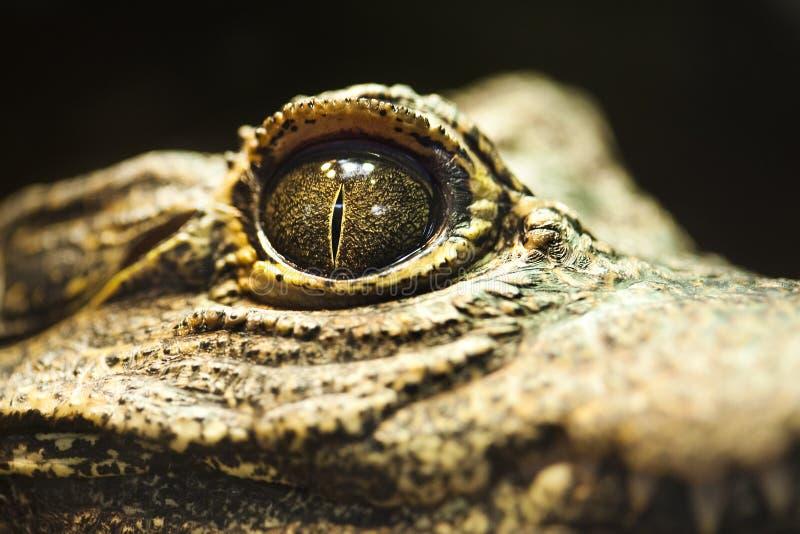 Primo piano di un occhio del coccodrillo fotografia stock libera da diritti