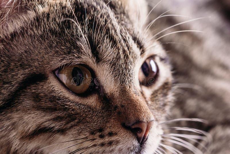Primo piano di un occhio del ` s del gatto immagine stock
