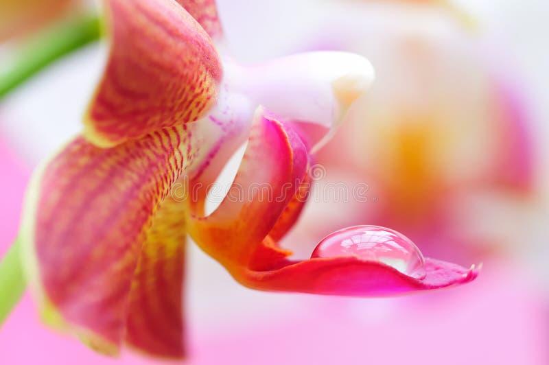 Primo piano di un'orchidea con le acqua-gocce fotografia stock