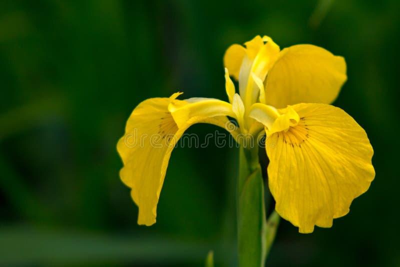 Primo piano di un'orchidea gialla immagine stock