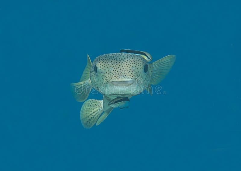 Primo piano di un pesce palla dell'istrice diodon hystrix, essendo pulendo dal pesce più pulito fotografia stock