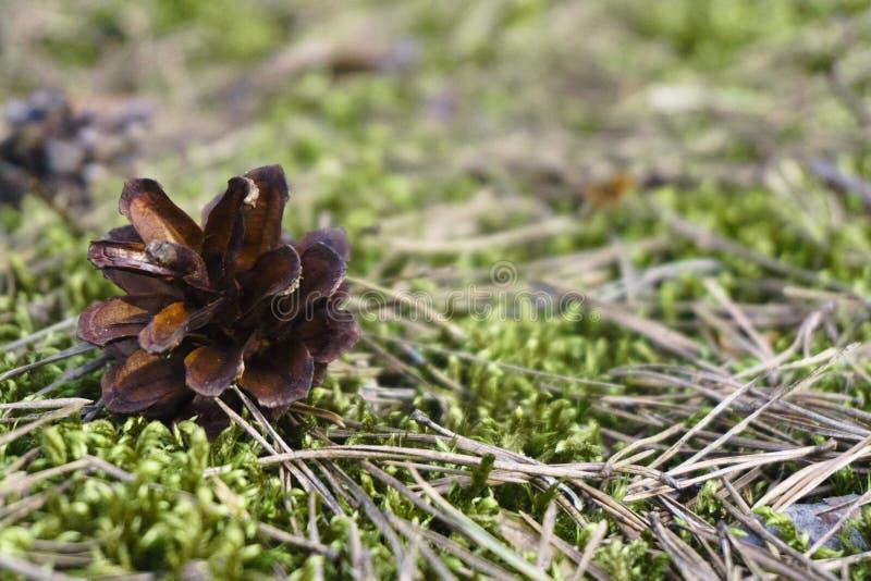 Primo piano di un pinecone sulla terra con un fondo confuso fotografia stock
