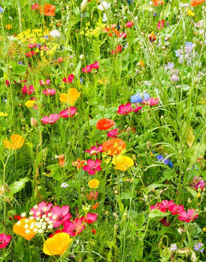 Primo piano di un prato vibrante del Wildflower fotografie stock libere da diritti
