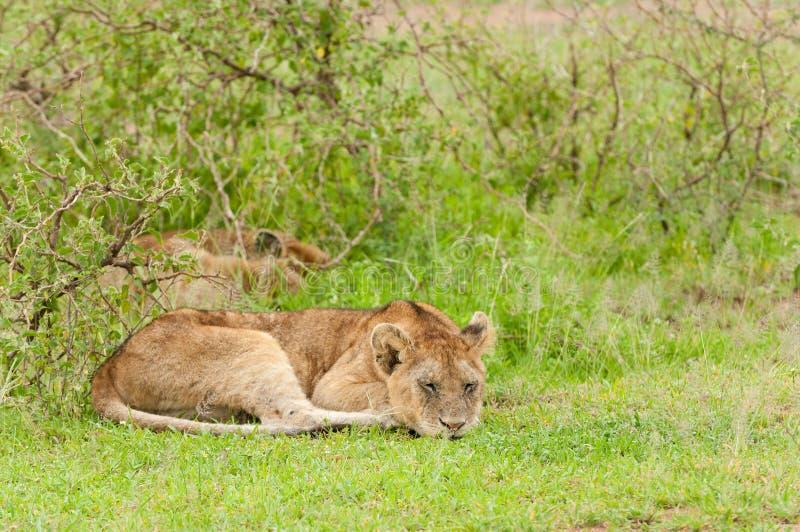 Primo piano di un sonno della leonessa fotografie stock