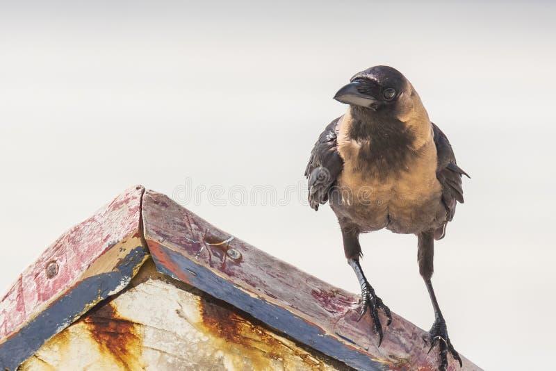Primo piano di un uccello degli splendens di corvo del corvo della Camera fotografia stock