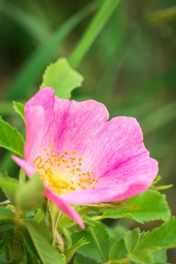 Primo piano di un wildflower di Rosa della prateria immagini stock libere da diritti