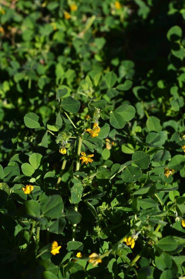 Primo piano di una California Burclover in fioritura, Burr Medic, medicago polymorpha, natura, macro immagine stock libera da diritti