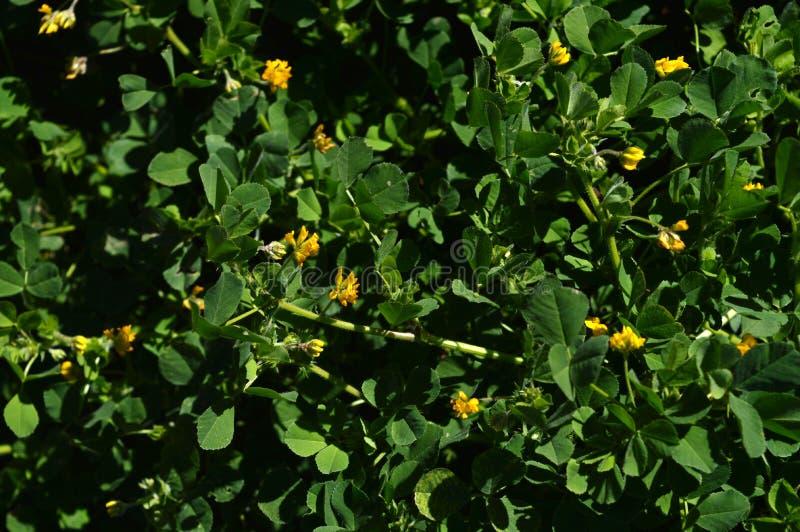 Primo piano di una California Burclover in fioritura, Burr Medic, medicago polymorpha, natura, macro fotografia stock libera da diritti