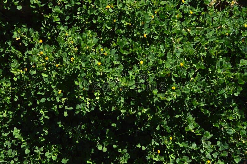 Primo piano di una California Burclover in fioritura, Burr Medic, medicago polymorpha, natura, macro fotografie stock libere da diritti