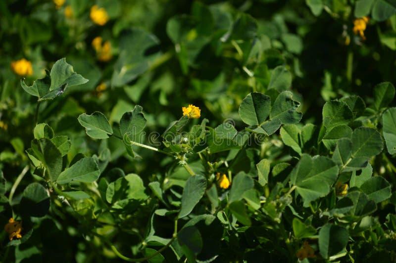 Primo piano di una California Burclover in fioritura, Burr Medic, medicago polymorpha, natura, macro immagini stock