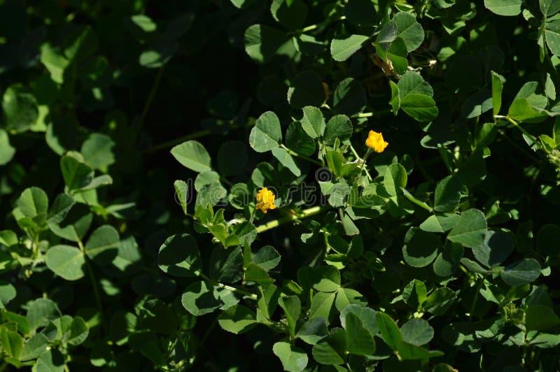 Primo piano di una California Burclover in fioritura, Burr Medic, medicago polymorpha, natura, macro immagini stock libere da diritti