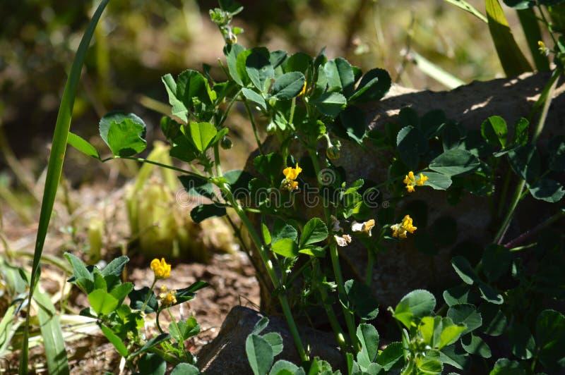 Primo piano di una California Burclover in fioritura, Burr Medic, medicago polymorpha, natura, macro fotografia stock