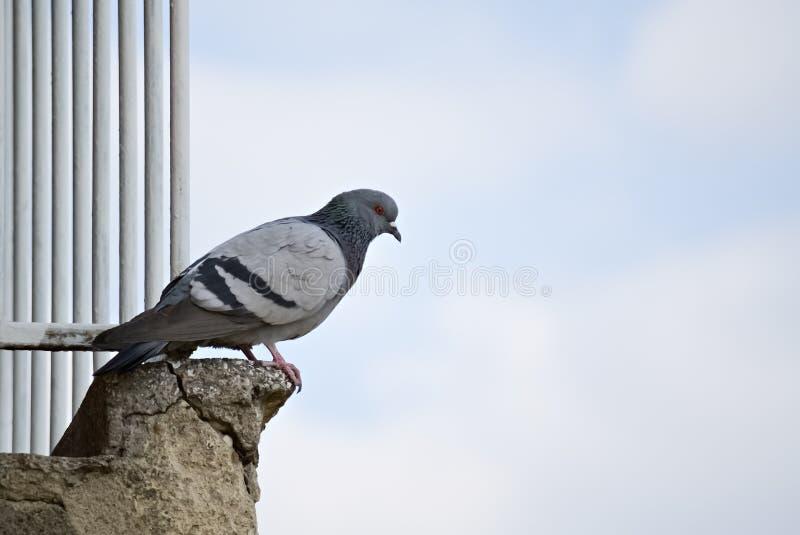 Primo piano di una colomba fotografia stock libera da diritti